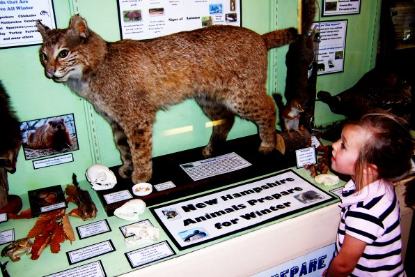 Elyse Olsen takes a look at the mounted bobcat at the Little Nature Museum in Contoocook.