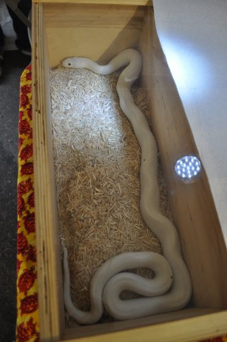 That's Lucy, a Texas leucistic rat snake, from P&R Reptiles.