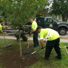 Concord wants to plant more trees – can they use your front yard?