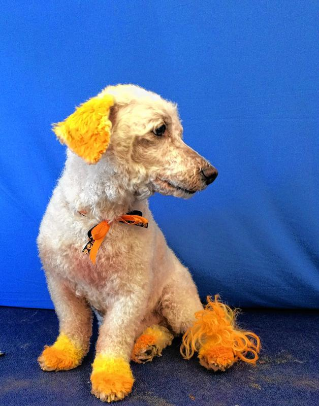 Bark Now! employee Liz Tilton volunteered her dog Rascal to be turned into a candy corn for Halloween. Hilarity ensued. (Courtesy of Kris Tripp) -