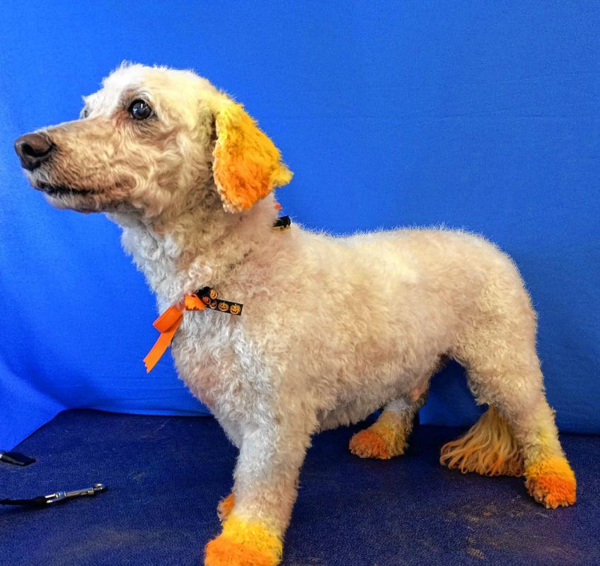 Rascal looks like a new man after getting his orange tips. (Courtesy of Kris Tripp) -