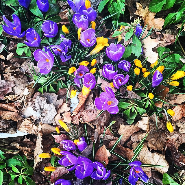 Try as it might, winter didn't croak us, so our reward is these crocuses, photographed by our friends @concordnhlibrary. Worst pun ever? We're sure we've created worse. Either way, maybe instead of making fun of our ugly humor you should just take in these lovely flowers.
