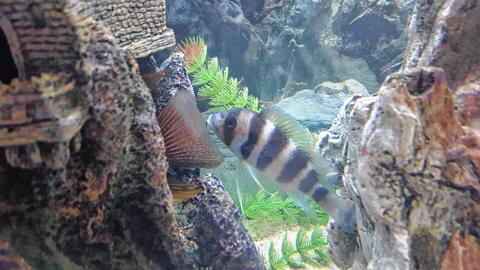 I have many fish, and this is Bandit. He can live 20 years and grow to as big as 20 inches! (Courtesy of Cassie Fitzgerald) -