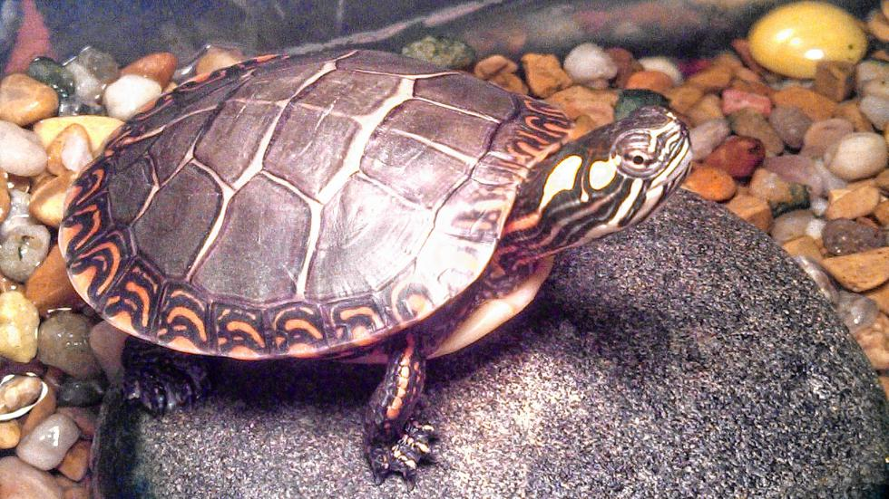 Chipper loves to bask on his rock under the heat light. (Courtesy of Cathy Valley) -
