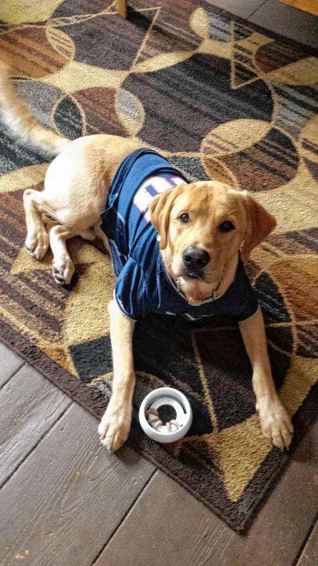 Here is Barley. He is a lab/retriever mix. He is a year and 5 months, and he loves the Patriots! (Courtesy of Martha Delong) -