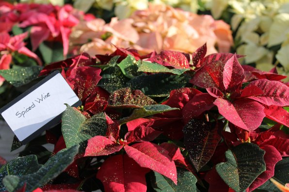 """This designer poinsettia with glitter was called """"Spiced Wine."""""""
