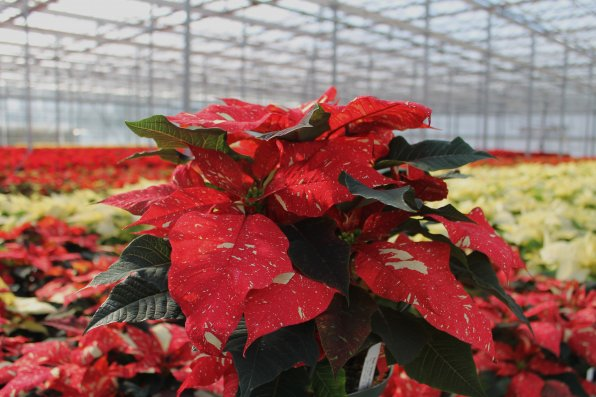 """A poinsettia variety named """"Red Glitter."""""""