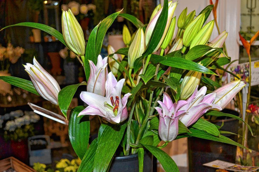 Lilies! (TIM GOODWIN / Insider staff) -