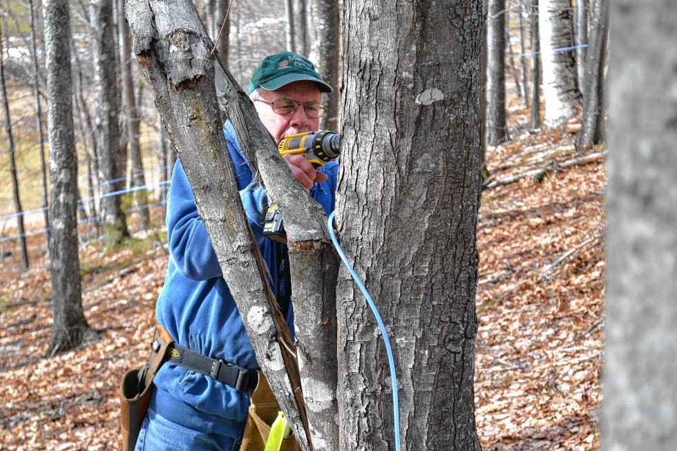 Mapletree Farm owner Dean Wilber uses his trusty drill to notch out a spot for one of his 1,000 or so taps for this year's sap collecting operation. (TIM GOODWIN / Insider staff) -