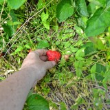 Strawberry season is here, so go pick your own