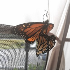 Butterfly update: Eggs have arrived