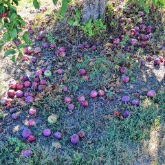 What happens to all the apples on the ground?