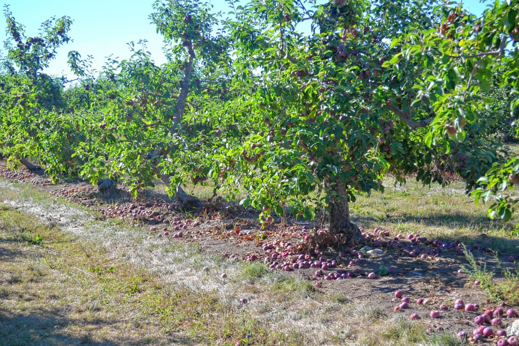 Tim Goodwin Insider StaffJust Look At All Those Apples That Have Fallen Off The Tree