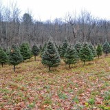 It's almost time to cut your Christmas tree