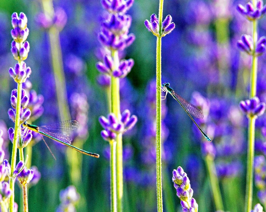 Damsel flies and lavender. COURTESY