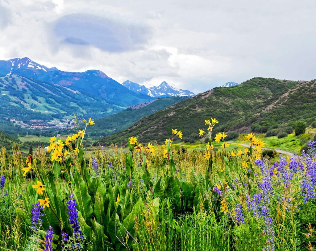 Mule's Ears and Lupines, Snowmass, Colo. COURTESY