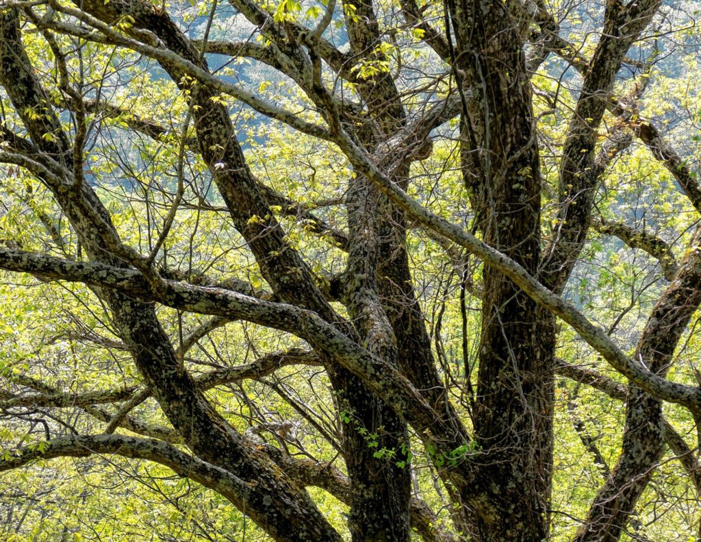 Tree Trunks, Smokey Mountains. COURTESY