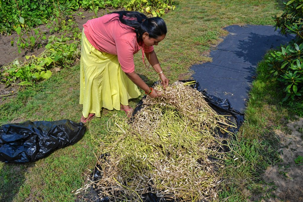Indra Dangal checks on the radish seeds she is drying out from her garden at Bob Reals house on A Street. TIM GOODWIN / Insider staff