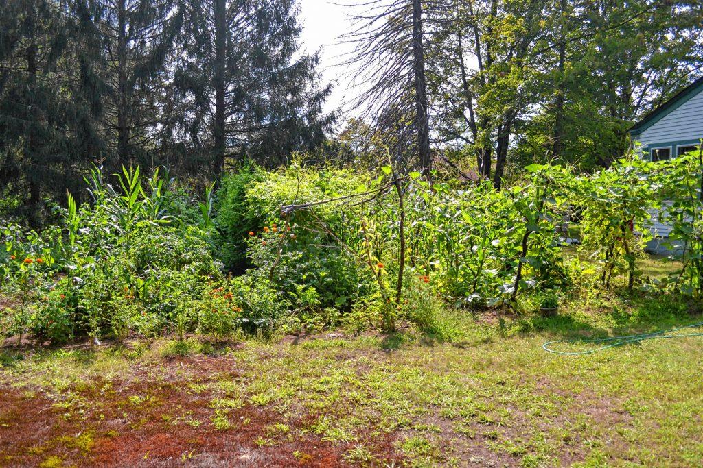 Hari Adhikari's garden at Jim Plato's house is plentiful this year. TIM GOODWIN / Insider staff