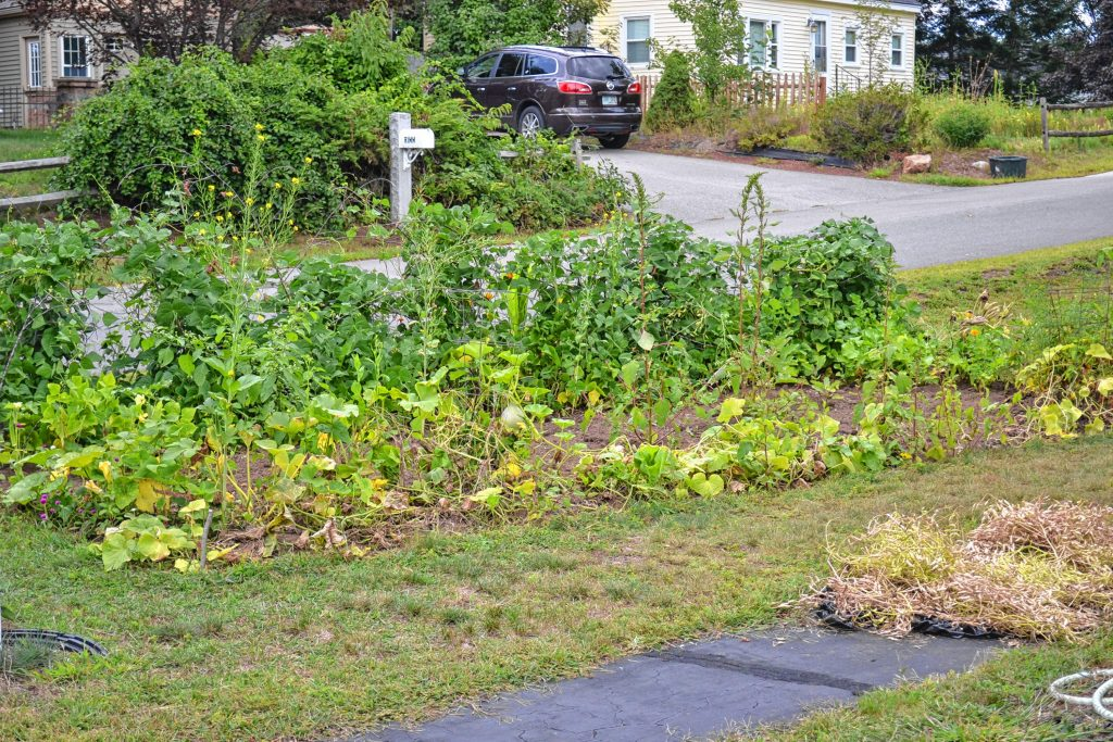 Indra Dangal's garden in Bob Reals's front yard is full of veggies this year. TIM GOODWIN / Insider staff