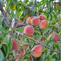 Go Try It: Pick some peaches at Carter Hill Orchard