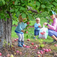Apple picking is a tradition not to be skipped