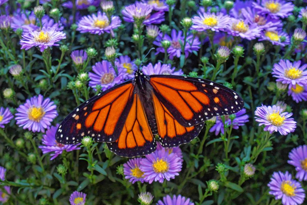 You can watch lots of butterflies be released into the world during Sunday's 2nd annual Butterfly Release at Cole Gardens. Courtesy