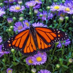 Butterflies are being released into the wild