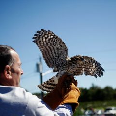 Bring your binoculars to the raptor festival and release day at Carter Hill Orchard
