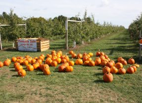 There are plenty of pumpkins for sale all over Concord