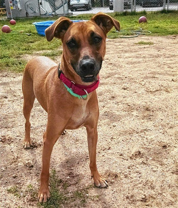 Caramel is a greyhound/boxer mix and is the adoptable pet who has been at the Pope Memorial SPCA the longest. He could use a good home. Courtesy