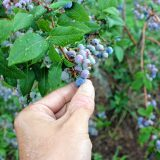 It's that time: Go out and pick your own blueberries around Concord