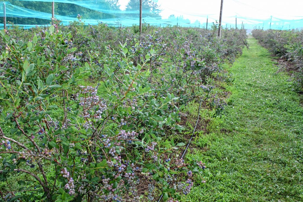 Carter Hill Orchard may be known for its apples, but don't sleep on the blueberries -- there are rows upon rows of bushes bursting with berries, all under the cover of some bird-repelling netting. JON BODELL / Insider staff