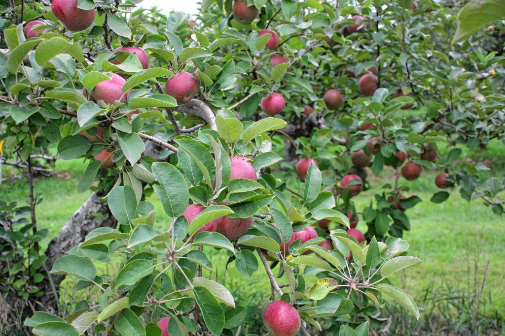 The trees are bursting with juicy, ripe apples at Apple Hill Farm.  JON BODELL / Insider staff