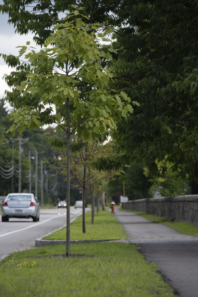 Adult trees on Auburn St. and adolescent trees around the city of Concord on Thursday, August 9, 2018. Maddie Vanderpool