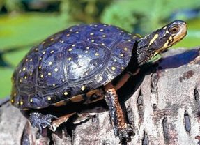 Have you seen this protected spotted turtle that was stolen from Audubon McLane Center?