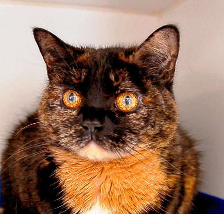 Sophia - Domestic Short Hair - 11-year-old spayed female. Sophia is a cautious girl who is looking for a calm, quiet home. She would prefer a home without dogs, cats and children. She will need to warm up to her new family before she will allow any handling. Courtesy of Pope Memorial SPCA