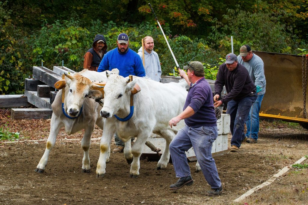 Teams compete in the oxen competition at this year's Warner Fall Foliage Festival on Saturday, Oct. 10, 2015.   (ELIZABETH FRANTZ / Monitor staff) ELIZABETH FRANTZ