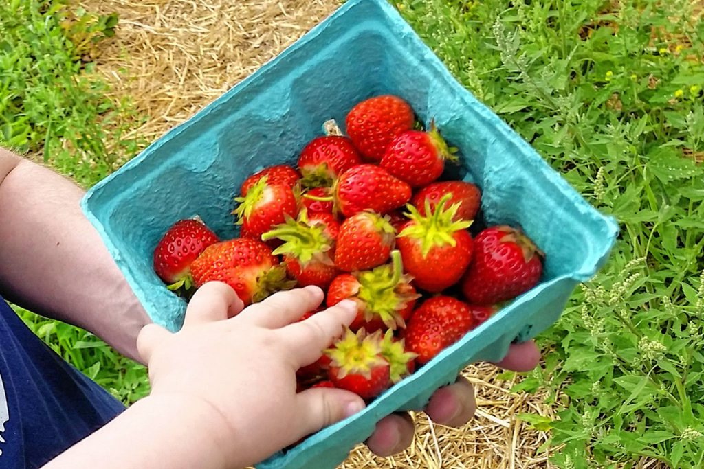 Strawberries from Rossview Farm in June 2020