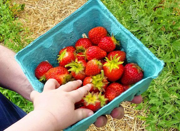 Strawberry picking season