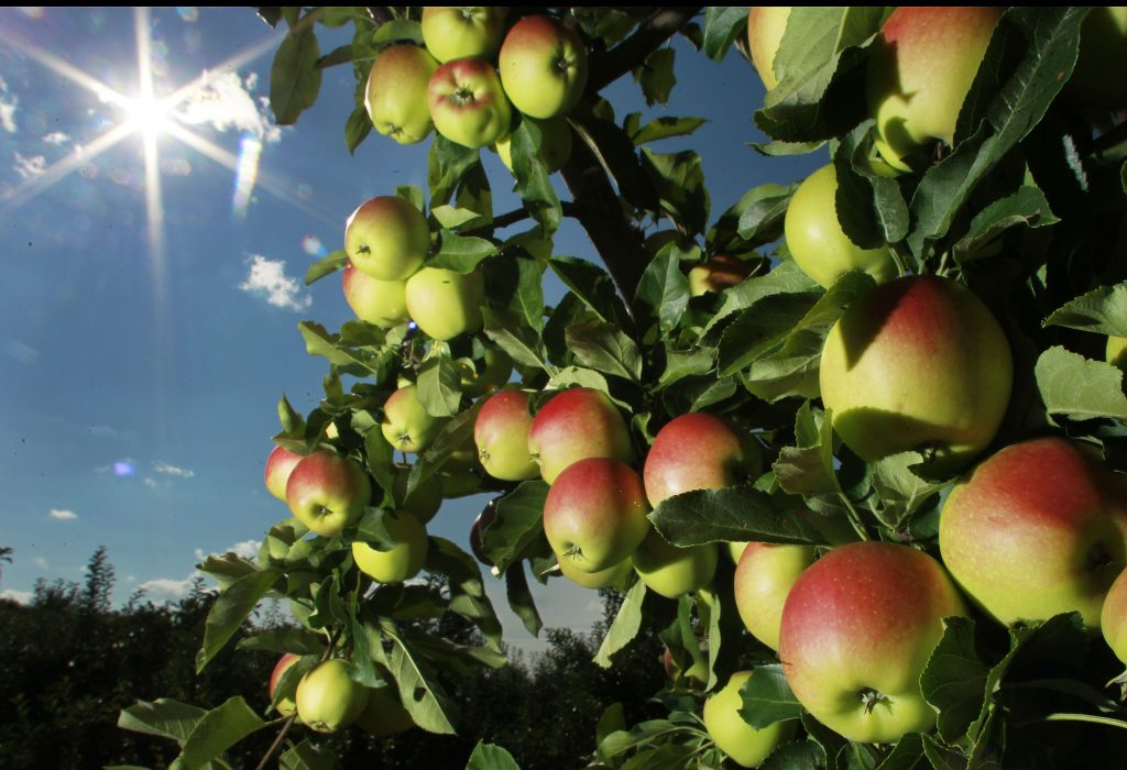 In this Tuesday, Aug. 26, 2014 photo, apples begin to ripen at Carter Hill Orchard in Concord, N.H. Northern New England apple growers are expecting a decent crop but not as good as last year's bumper yield. (AP Photo/Jim Cole) Apples begin to ripen at Carter Hill Orchard in Concord last week. Northern New England apple growers are expecting a decent crop, but not as good as last year's bumper yield. ap — Jim Cole     Jim Cole
