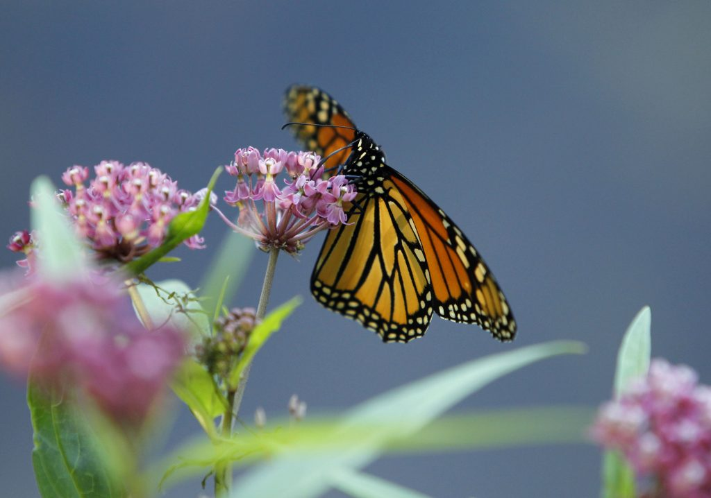 FILE - In this July 22, 2012, file photo, a Monarch butterfly eats nectar from a swamp milkweed on the shore of Rock Lake in Pequot Lakes, Minn. Milkweed has long been considered a nuisance on North American farmlands but now, more than 100 farmers in Quebec and Vermont are planting it in their fields to help restore the declining population of monarchs, which use that plant exclusively for their eggs and to feed the caterpillars. The farmers are also tapping a new market for the milkweed fibers. (AP Photo/Ann Heisenfelt, File)  Ann Heisenfelt