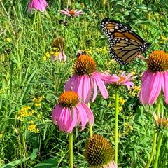 Annual Monarch Festival joins streaming list