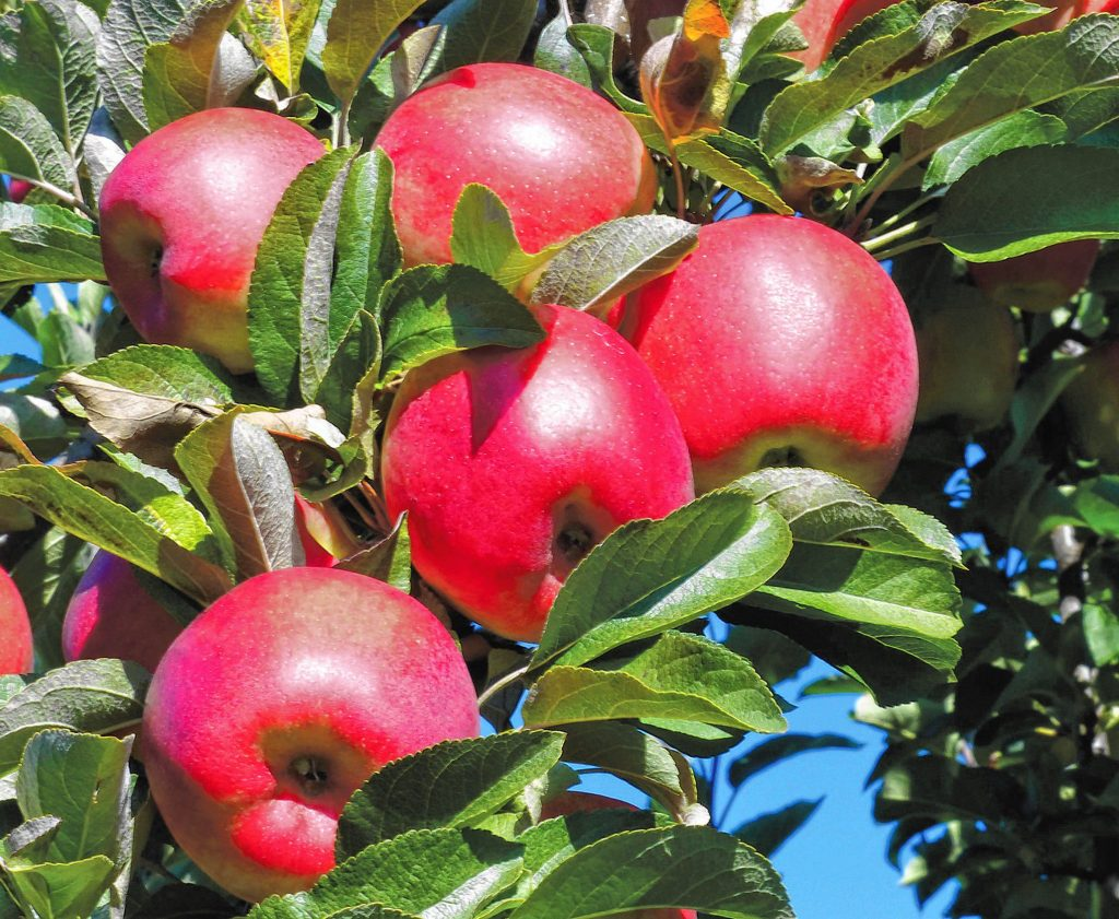 Apples at Apple Hill Farm in Concord.   Charlotte Thibault