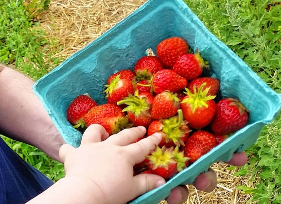 Strawberries are ripe for the picking