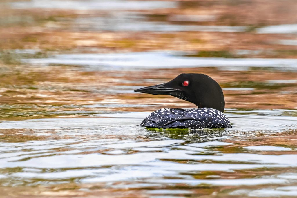"""""""Late Summer Loon,"""" a photograph by Sarah Cail"""